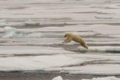 Isbjörn av ispacken arkivbild