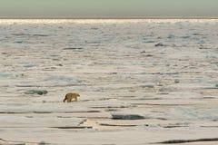 Isbjörn av ispacken arkivfoton