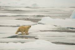 Isbjörn av ispacken arkivbilder