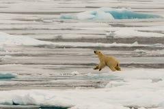 Isbjörn av ispacken fotografering för bildbyråer
