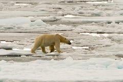 Isbjörn av ispacken arkivfoto
