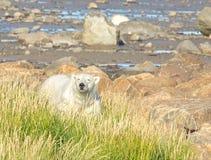 Isbjörn bak en lapp av gräs royaltyfria bilder
