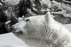 Isbjörn för global uppvärmningklimatförändringkris Arkivfoton
