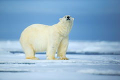 Isbjörn farligt seende fä på isen med insnöade norr Ryssland arkivfoto