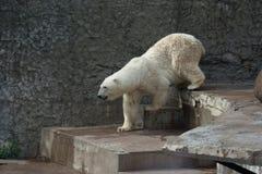 Isbjörn i den St Petersburg zoo Royaltyfria Bilder