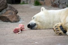 Isbjörn i den St Petersburg zoo som ätas för mycket Arkivbild