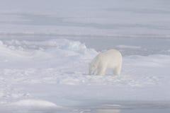 Isbjörn i dimman arkivfoton