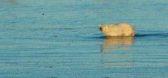 Isbjörn i vattnet 2 arkivfoton