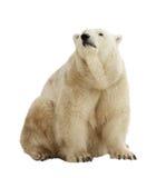Isbjörn. Isolerat över vit arkivbild