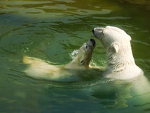 Isbjörn med en gröngöling Arkivbilder
