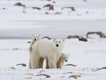 Isbjörn med gröngölingar i tundran Kanada Arkivbilder