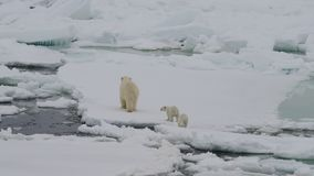 Isbjörn med två gröngölingar stock video