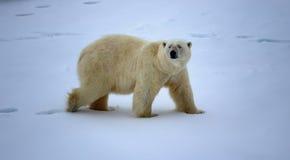 Isbjörn nära friheten för grader för nordpolen 86-87 den norr Arkivbilder