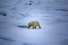 Isbjörn nära friheten för grader för nordpolen 86-87 den norr Fotografering för Bildbyråer