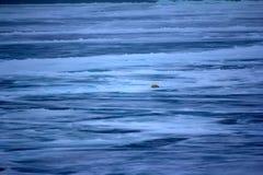 Isbjörn nära nordpolen (den norr friheten för grader 86-87) Arkivfoton