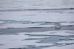 Isbjörn nära nordpolen (den norr friheten för grader 86-87) Arkivbilder