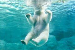 Isbjörn (också som är bekant som thalarctosen Maritimus Arkivbilder