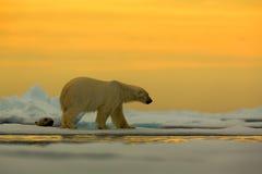 Isbjörn på drivaisen med snö, med aftongulingsolen, Svalbard, Norge arkivbilder