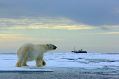Isbjörn på drivaisen med snö, suddig kryssningskyttel i bakgrund, Svalbard, Norge royaltyfria bilder