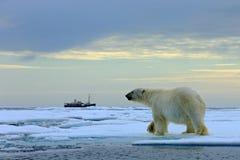 Isbjörn på drivaisen med snö, suddig kryssningskyttel i bakgrund, Svalbard, Norge arkivfoto