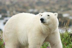 Isbjörn på klockan Royaltyfria Bilder