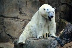 Isbjörn på Lincoln Park Arkivfoton