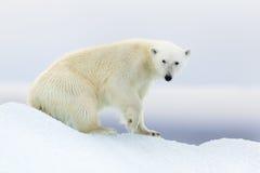 Isbjörn på Svalbard royaltyfria foton
