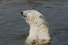 Isbjörn som äter moroten Arkivbilder