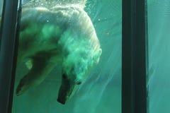 Isbjörn som dyker i pöl Arkivbild