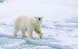 Isbjörn som går i en arktisk royaltyfri bild