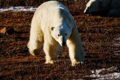 Isbjörn som går in mot person Arkivfoto