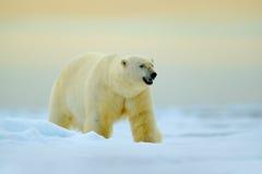 Isbjörn som går på drivais med snö Vitt djur i naturlivsmiljön, Ryssland Farlig isbjörn i det kalla havet polart Royaltyfria Bilder