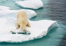 Isbjörn som går på havsis royaltyfria bilder