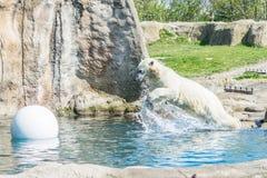 Isbjörn som hoppar i vatten arkivbilder