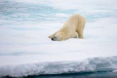 Isbjörn som ligger på is med insnöad arktisk Royaltyfri Bild