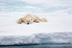 Isbjörn som ligger på is med insnöad arktisk Arkivfoton