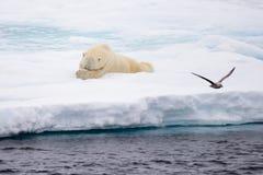 Isbjörn som ligger på is med insnöad arktisk Royaltyfri Fotografi