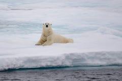 Isbjörn som ligger på is med insnöad arktisk Royaltyfria Bilder