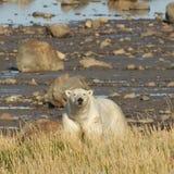 Isbjörn som ser upp från kust Arkivbilder