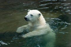 Isbjörn som simmar i vatten Fotografering för Bildbyråer