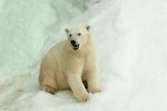 Isbjörn som sitter i snön Royaltyfri Bild