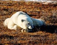 Isbjörn som slöar i solen Arkivfoto