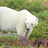 Isbjörn som sniffar i gräset 4 royaltyfri foto