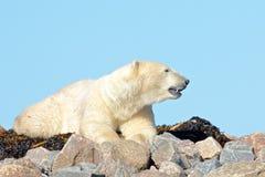 Isbjörn som sniffar luften arkivbilder