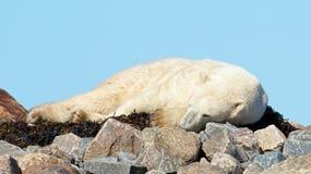 Isbjörn som sover på havsväxt arkivfoto