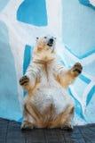 Isbjörn som står på dess bakre ben Arkivbild