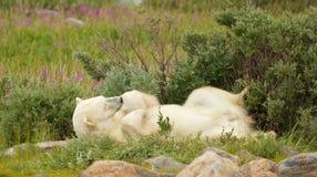 Isbjörn som tröttas i buskarna royaltyfria foton