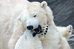 Isbjörn som två slåss på drivais i arktiska Svalbard Detalj av kampen Stort farligt djur från arktisk Arkivbild