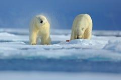 Isbjörn två på drivais i arktiska Ryssland Isbjörnar i naturlivsmiljön Isbjörn med snö Isbjörn med färgstänkwate royaltyfria foton