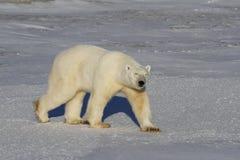 Isbjörn Ursus Maritimus och att gå på tundra och snö på en solig dag fotografering för bildbyråer